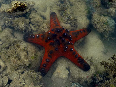 starfish, knobbly sea star, Protoreaster nodosus