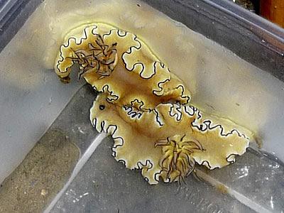 Glossodoris nudibranch, Glossodoris atromarginata