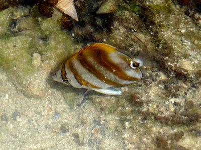 Kite butterflyfish, Parachaetodon ocellatus