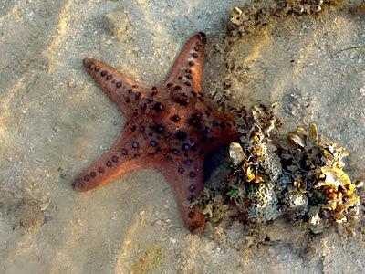 Knobby starfish, Protoreaster nodosus