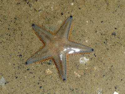 Sand star, Astropecten sp.