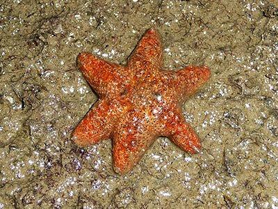Rock stars, Asterina coronata