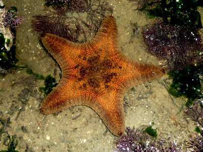 Biscuit sea star, Goniodiscaster scaber