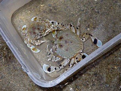 Moon Crabs (Ashtoret lunaris)