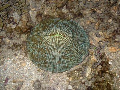 Mushroom coral, Fungia sp.