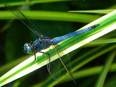 Dragonfly, Orthetrum glaucum