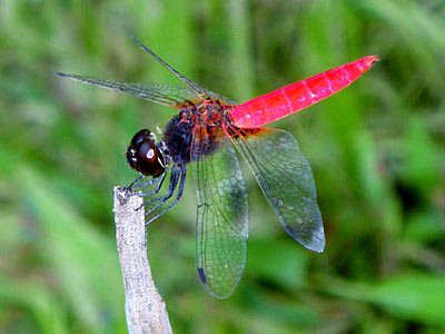 Dragonfly, Orthetrum chrysis