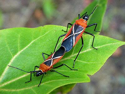 Cotton stainer bugs (Dysdercus simon)
