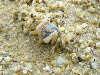 Soldier crab (Dotilla myctiroides)