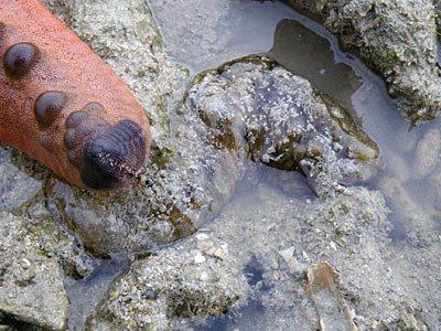 Dragonfish sea cucumber (Stichopus horrens)