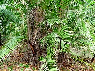 Nibong palm (Oncosperma tigillarium)