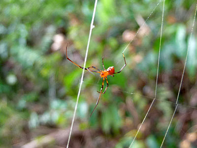 Red parasitic spider (probably Argyrodes sp.)