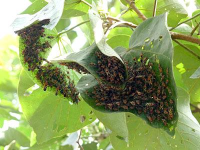 Cotton stainer bugs (Dysdercus decussatus)