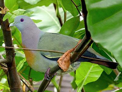 Male pink-necked green pigeon (Treron vernans)