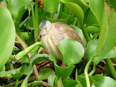 Yellow bittern (Ixobrychus sinensis)