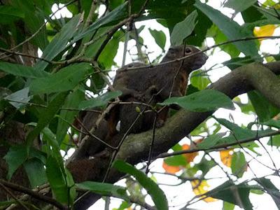 Plantain squirrels (Callosciurus notatus)