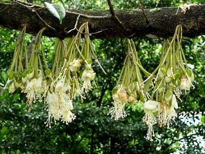Durian flowers(Durio zibethinus)
