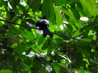 Greater racket-tailed drongo (Dicrurus paradiseus)