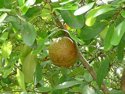 Mangrove Cannonball, Nyireh Bunga (Xylocarpus granatu)