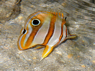 Copper-banded Butterflyfish (Chelmon rostratus)