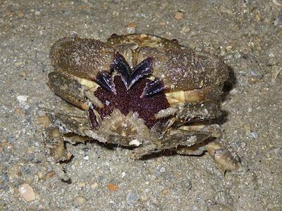 Granulated Faltfoot (Platypodia granulosa)