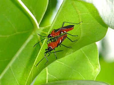 Thespesia Firebugs (Dysdercus simon)