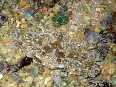 Flower Crab (Portunus pelagicus)