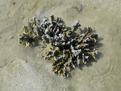 Branching Coral (Montipora sp.)