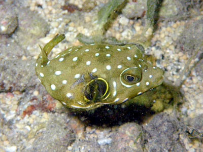Bristly Puffer (Arothron hispidus)
