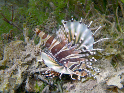 Ragged-finned Lionfish (Pterois antennata)