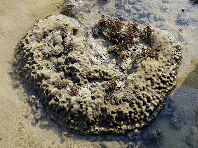Porites Corals (Porites sp)