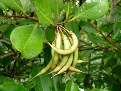 Kachang-kachang (Aegiceras corniculatum)