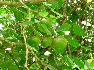 Gedabu (Sonneratia ovata)