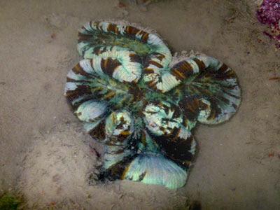 Cabbage Coral (Trachyphyllia geoffroyi)