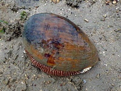 Melon shell (Melo melo)