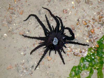 Haeckeli sea anemone (Actinostephanus haeckeli)