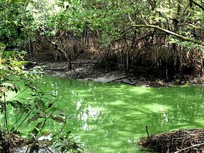 Strange green mangrove water