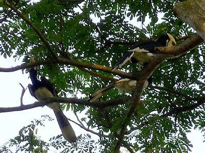 Oriental Pied-hornbills (Anthracoceros albirostris)