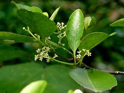 Barat Barat (Cassine viburnifolia)