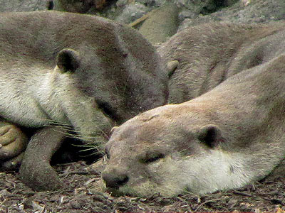 Smooth Otters (Lutrogale perspicillata)