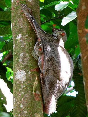 Malayan Colugo with Baby (Cynocephalus variegatus)
