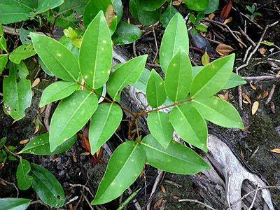 Nyireh Batu, Xylocarpus moluccensis