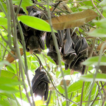 Lesser Dog-faced Fruit Bats (Cynopterus brachyotis)