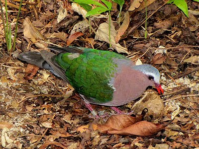 Emerald Dove (Chalcophaps indica)