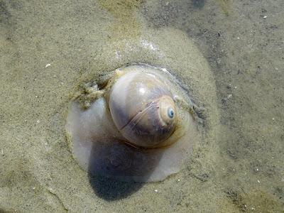 Moon snail (Polinices didyma)