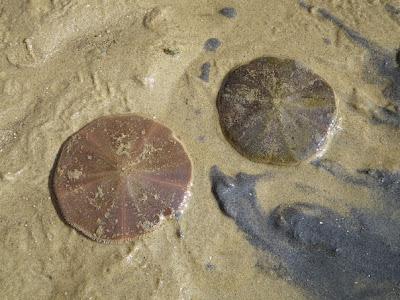 Sand dollars (Arachnoides placenta)