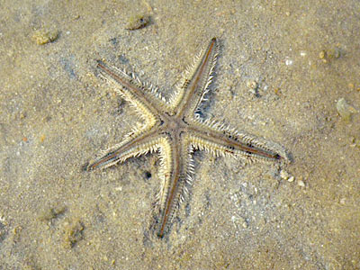Astropecten Sea Star