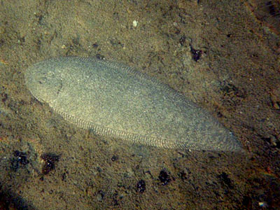 Sole Fish (Family Soleidae)