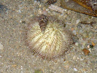 Salmacis Sea Urchi