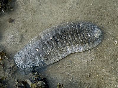Sandfish Sea Cucumber (Holothuria  scabra)